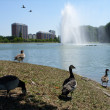 Stock Photo: CanadGeese in Sweeden