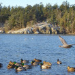 Ducks in Esquimalt Lagoon — Stock Photo