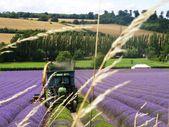 Harvesting lavender in Kent, England — Stock Photo