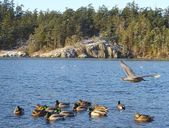 Canards dans la lagune d'esquimalt — Photo