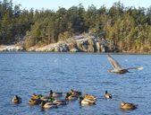 Ducks in Esquimalt Lagoon — Stock Photo