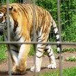 Stock Photo: Tiger at Calgary Zoo