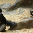 Gorillas at Calgary Zoo in Alberta, Canada — Stock Photo