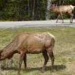 Elk in Banff Nationl Park, Alberta, Canada — Stock Photo