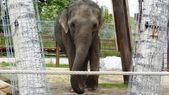 Elephant at Calgary Zoo, Alberta, Canada — Stock Photo