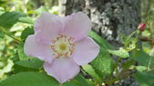 Alberta Wild Rose in Pigeon Lake Provincial Park, Alberta, Canada — Photo