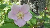 Alberta Wild Rose in Pigeon Lake Provincial Park, Alberta, Canada — Stock Photo