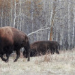 Stock Photo: Bison at Elk Island National Park, Alberta
