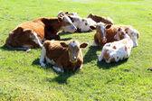 Vaches au repos dans la prairie — Photo