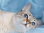 White cat with aquamarine eyes — Stock Photo