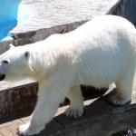 Polar bear — Stock Photo #27198189