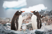 Gentoo penguins looking in the mirror on the Antarctica beach ne — Stok fotoğraf