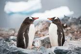 Pingwiny gentoo, patrząc w lustro na antarktydzie plaży ne — Zdjęcie stockowe