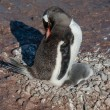 Stock Photo: Gentoo penguin baby under his mother. Antarctica