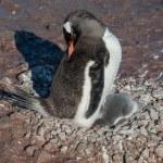 Gentoo penguin baby under his mother. Antarctica — Stock Photo