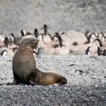 Fur seal on the beach near penguins, Antarctica — Stock Photo