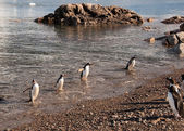 Gentoo penguins coming back from fishing in Antarctic sea — Stock Photo