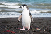 Chinstrap penguine on the Deception island, Antarctica — Stock Photo