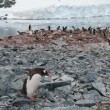 Stock Photo: Gentoo penguin near ocean