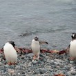Gentoo penguins near the ocean — Stock Photo #13774859