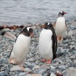 Stock Photo: Gentoo penguins near ocean