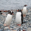 Gentoo penguins near the ocean — Stock Photo