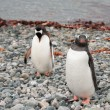 Gentoo penguins near the ocean — Stock Photo #13774893