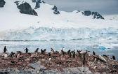 Gentoo tučňáci poblíž hory — Stock fotografie