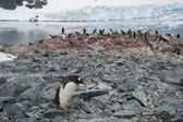 Gentoo penguin near the ocean — Stock Photo