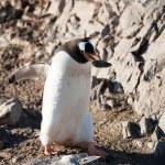 Gentoo penguins on the beach — Stock Photo