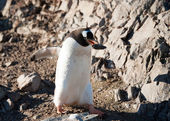 Gentoo penguins on the beach — Stock Photo