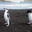 Chinstrap penguin on the beach — ストック写真
