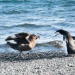 Stock Photo: Chinstrap penguin fighting skuas