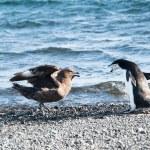 Chinstrap penguin fighting skuas — Stock Photo