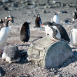 Gentoo chick on whale bone — Stock Photo