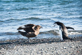Chinstrap penguin fighting skuas — Stock Photo