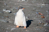 Gentoo chick on the sand — Stock Photo