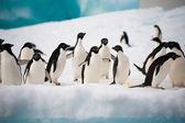 Penguenler kar — Stok fotoğraf