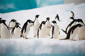 Penguins on the snow — Stok fotoğraf