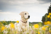 Golden retriever in flowers — Stock Photo