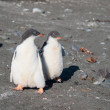 Two small penguins together — Stock Photo #15583665