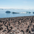 Huge colony of Gentoo penguins - Stock Photo