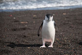 Penguins on the beach — Foto Stock
