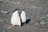Two small penguins together — Stock Photo