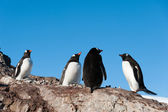 Gentoo penguins near the mountain — Stock Photo