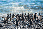 Colony of Gentoo penguins on the beach — Stock Photo