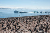 Huge colony of Gentoo penguins — Stock Photo