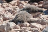Genç penguen bir dinlenme — Stok fotoğraf