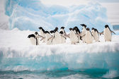Penguins on the snow — Stock Photo