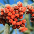 Mountain ash in the winter — Stock Photo